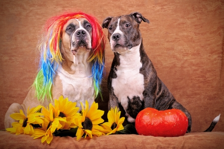 periwig: Fawn dog wearing a wig and brindle dog american staffordshire terriers with sunflowers and pumpkin on the brown background