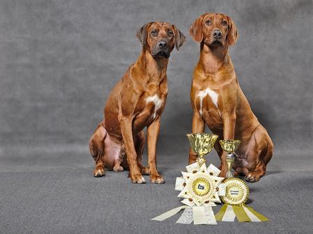 ridgebacks: Rhodesian ridgebacks with decorative prizes on dogs show in studio