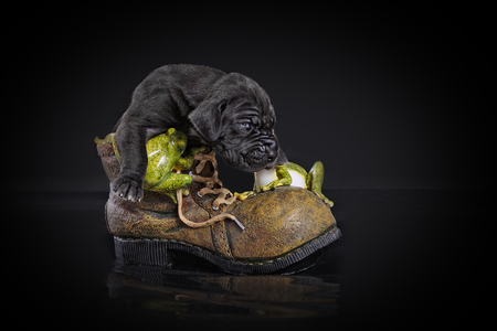 Black great dane puppy in old boot on the black background