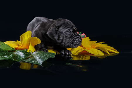 deutsche dogge: Black great dane puppy with flowers on the black background Stock Photo