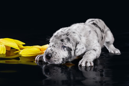 deutsche dogge: Merlequin great dane puppy with flowers on the black background Stock Photo
