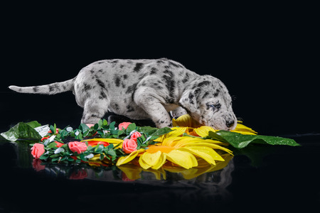 Merlequin great dane puppy with flowers on the black background Stock Photo
