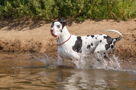 great dane harlequin: Big harlequin great dane dog swimming in the river Stock Photo