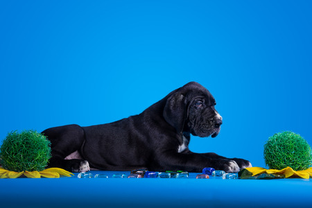 great dane harlequin: Black great dane puppy with colored glass and flower on the blue background Stock Photo