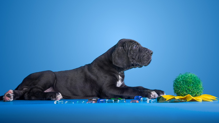 deutsche dogge: Black great dane puppy with colored glass and flower on the blue background Stock Photo