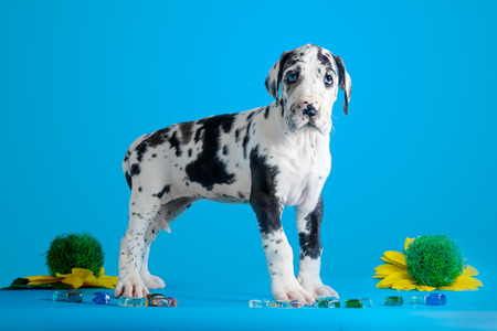 great dane harlequin: Harlequin great dane puppy with colored glass and flower on the blue background