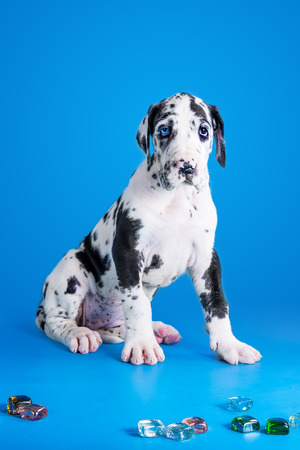 Harlequin great dane puppy with colored glass on the blue background