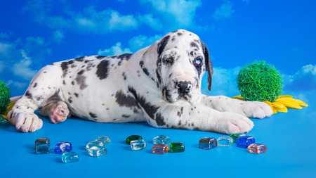 great dane harlequin: Harlequin great dane puppy with colored glass and flower on the blue background with clouds texture
