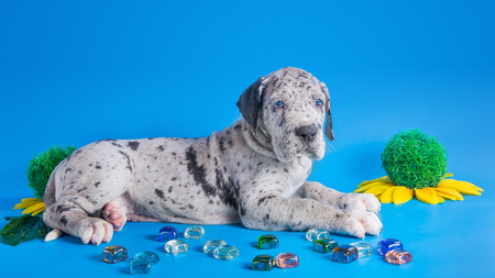 Merlequin great dane puppy with colored glass and flower on the blue background