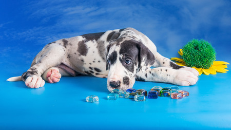 Harlequin great dane puppy with colored glass and flower on the blue background with clouds texture
