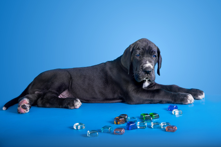 great dane harlequin: Black great dane puppy with colored glass on the blue background Stock Photo