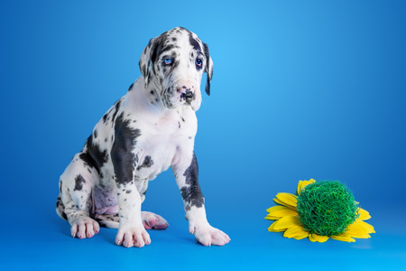 Harlequin great dane puppy with flower on the blue background Stock Photo