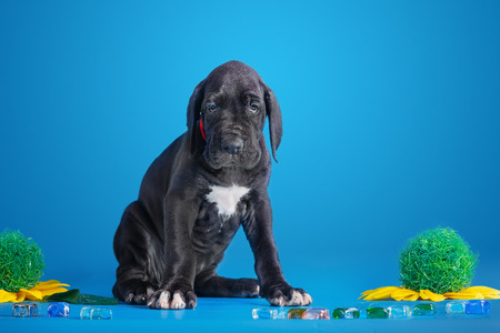 Black great dane puppy with colored glass and flower on the blue background Stock Photo
