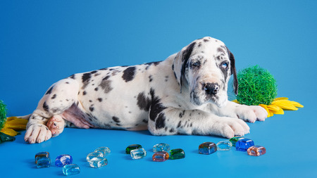 Harlequin great dane puppy with colored glass and flower on the blue background