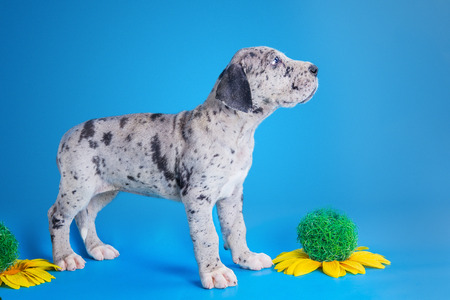 Merlequin great dane puppy with flowers on the blue background