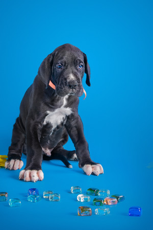 Black great dane puppy with colored glass on the blue background with clouds texture