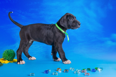 Black great dane puppy with colored glass and flower on the blue background with clouds texture