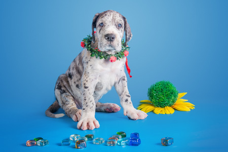 great dane harlequin: Merlequin great dane puppy with colored glass and flower on the blue background