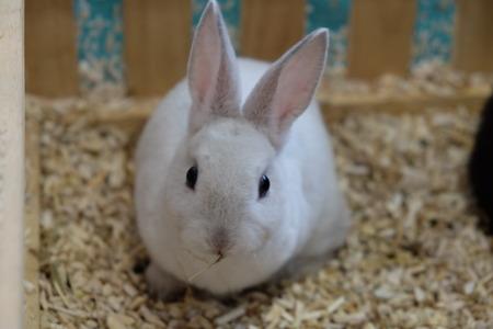 lapin blanc: Lapin blanc Banque d'images