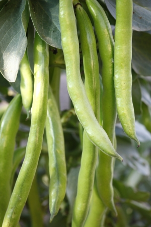 Cultivation of Fava beans in the field Stock Photo