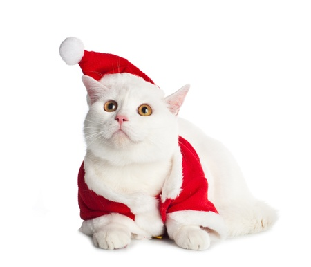 pet care: White Cat with yellow eyes on white background