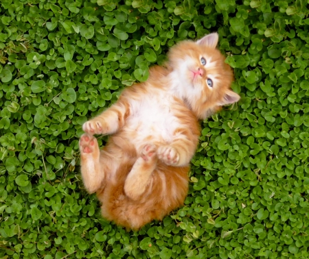 gato jugando: Peque�o gatito rojo al aire libre.