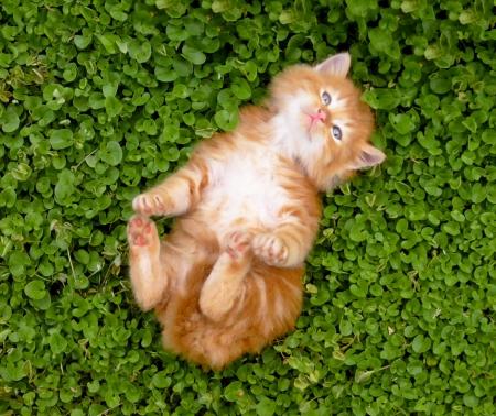 kotek: Tiny czerwony kotek portret w plenerze.