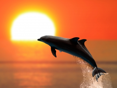 Two dolphins swimming in sunset photo