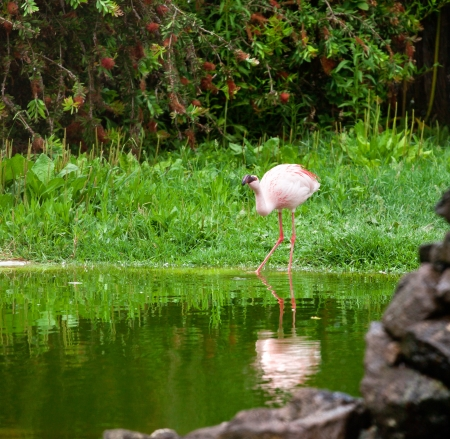 One pink flamingo in the nature photo