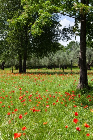 Beautiful Red poppies on green field photo