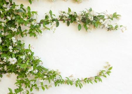 jasmine: Natural frame of jasmine flowers on white wall  Stock Photo