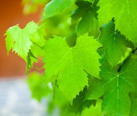 Closeup of a vine leaves photo