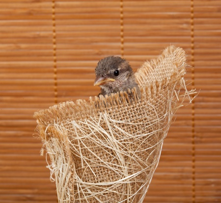 Close up of nice little bird in a nest of jute on white background Stock Photo