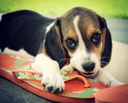 Cute Beagle puppy that bites a slipper photo