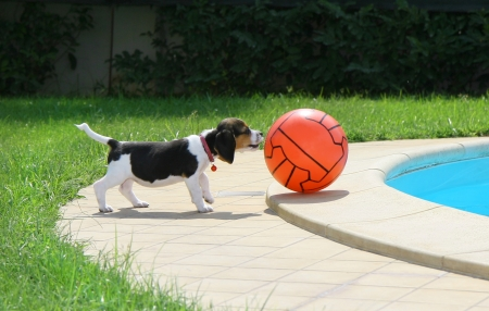 Cute Beagle puppy with ball near the pool photo