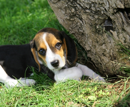Cute Beagle puppy in the grass photo
