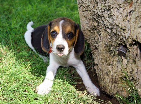 Cute Beagle puppy in the grass in the shade photo