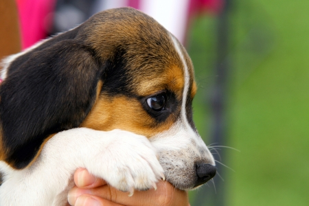 Cute Beagle puppy in the arms of the master photo