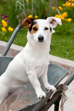 Jack Russell sitting in wheelbarrow in the garden photo