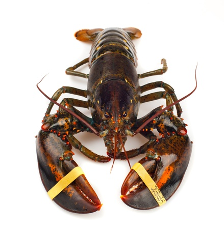 Living lobster isolated on white background photo