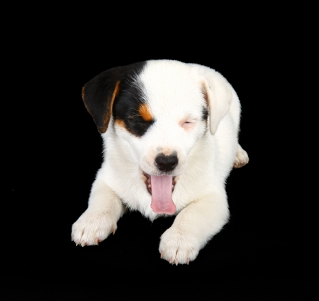 Jack russell puppy isolated on black background Stock Photo - 22133321