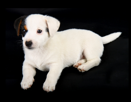 Jack russell puppy isolated on black background Stock Photo - 22133328