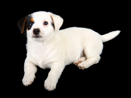 Jack russell puppy isolated on black background Stock Photo - 22133329