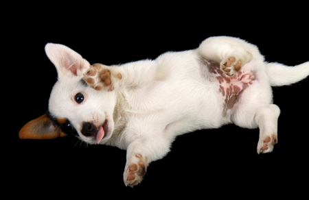 Jack russell puppy isolated on black background Stock Photo - 22133331