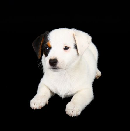 Jack russell puppy isolated on black background photo