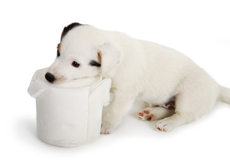 Jack Russell puppy caught playing in toilet paper photo