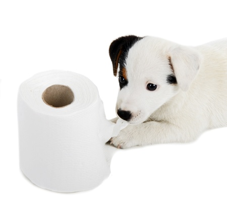 housepet: Jack Russell puppy caught playing in toilet paper