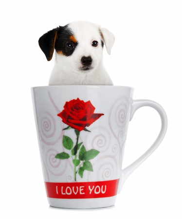 Jack Russell puppy in the cup on white background photo