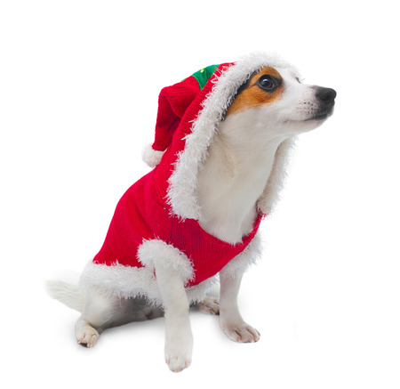 Young Jack Russel wearing christmas tree dress on white background Stock Photo - 22807867