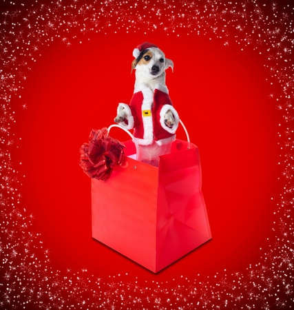 Young Jack Russel wearing santa claus dress in red shopping bag on red background with stars photo